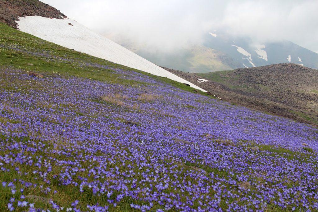 Qarakatar's flowers